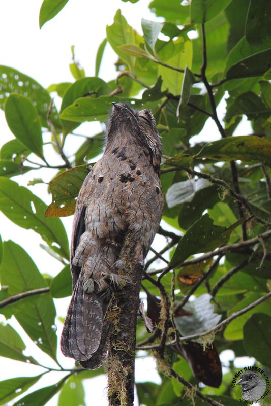 un oiseau - ajonc - 18 décembre Common_P_2
