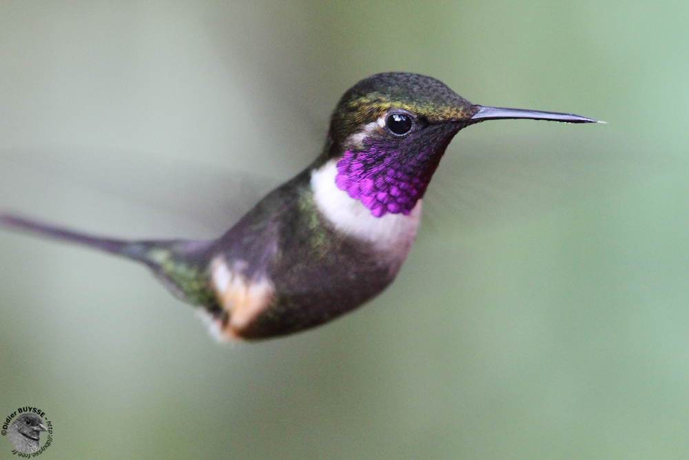 Bzzzzzz...oh, une mouche ? Purple-throated_W_4
